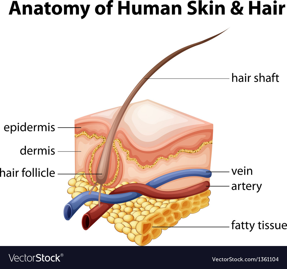 Anatomy Human Skin Hair Royalty Free Vector Image