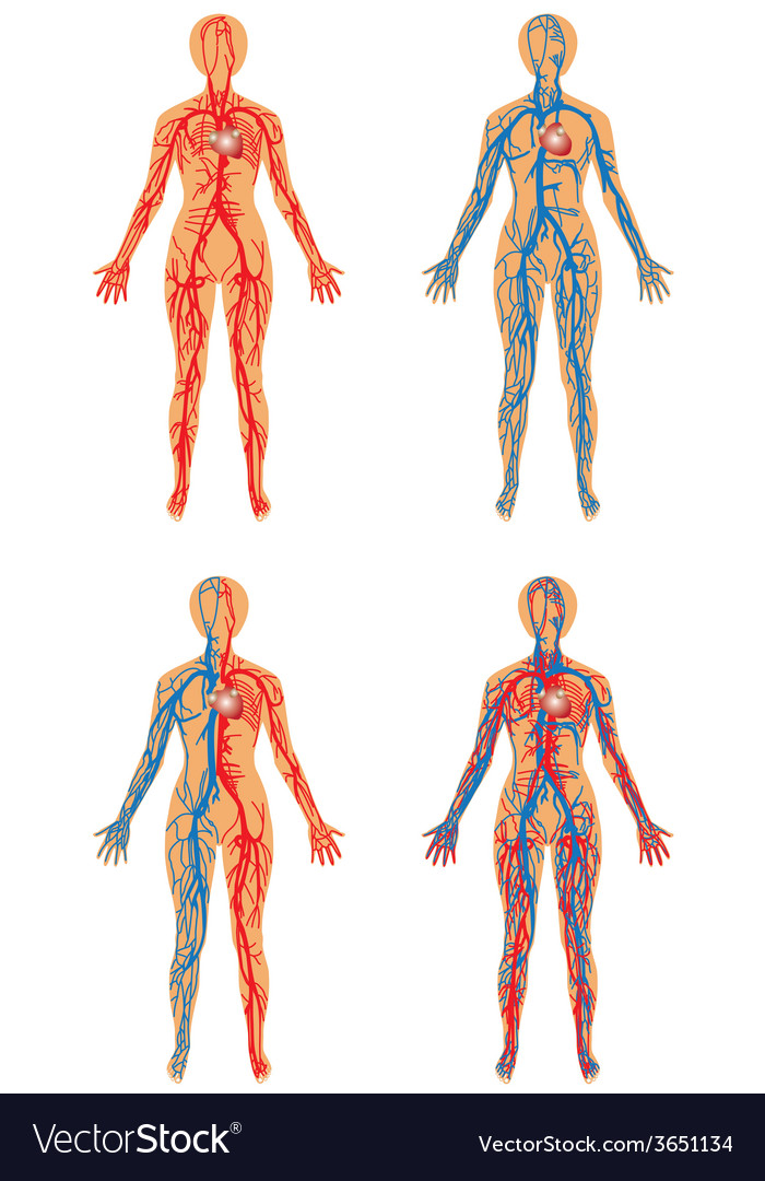 Human vascular system Royalty Free Vector Image