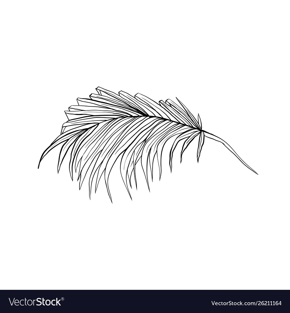 Coconut frond sketched