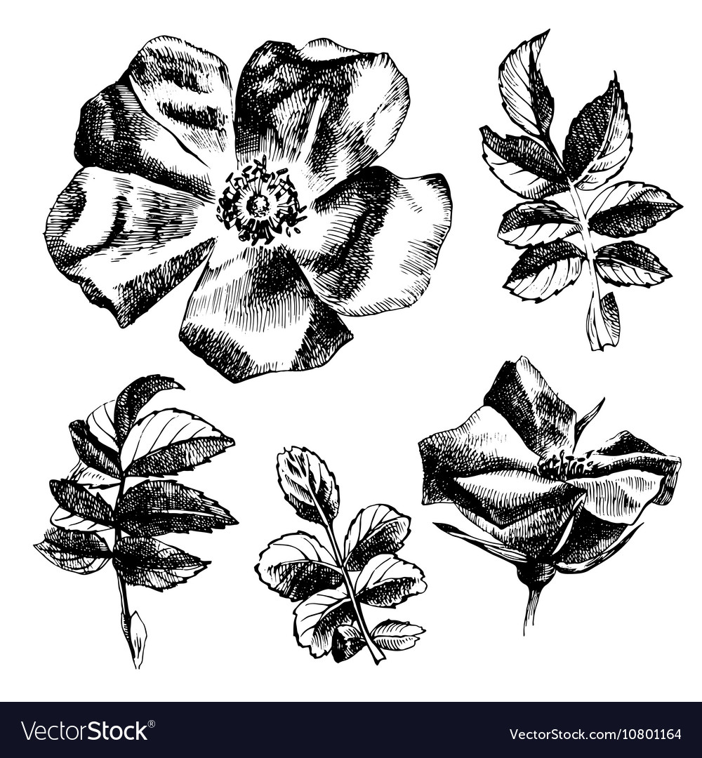 Hand drawn rose-hip flowers and leaves
