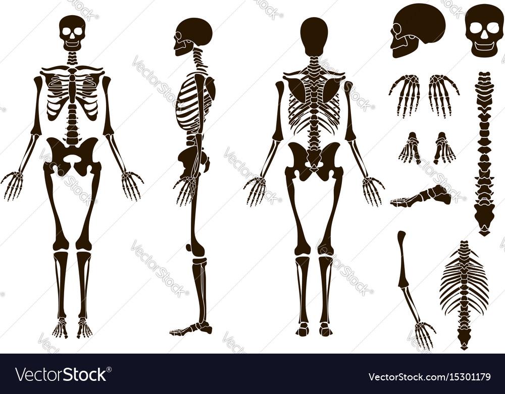 Human bones skeleton structure elements set skull Vector Image