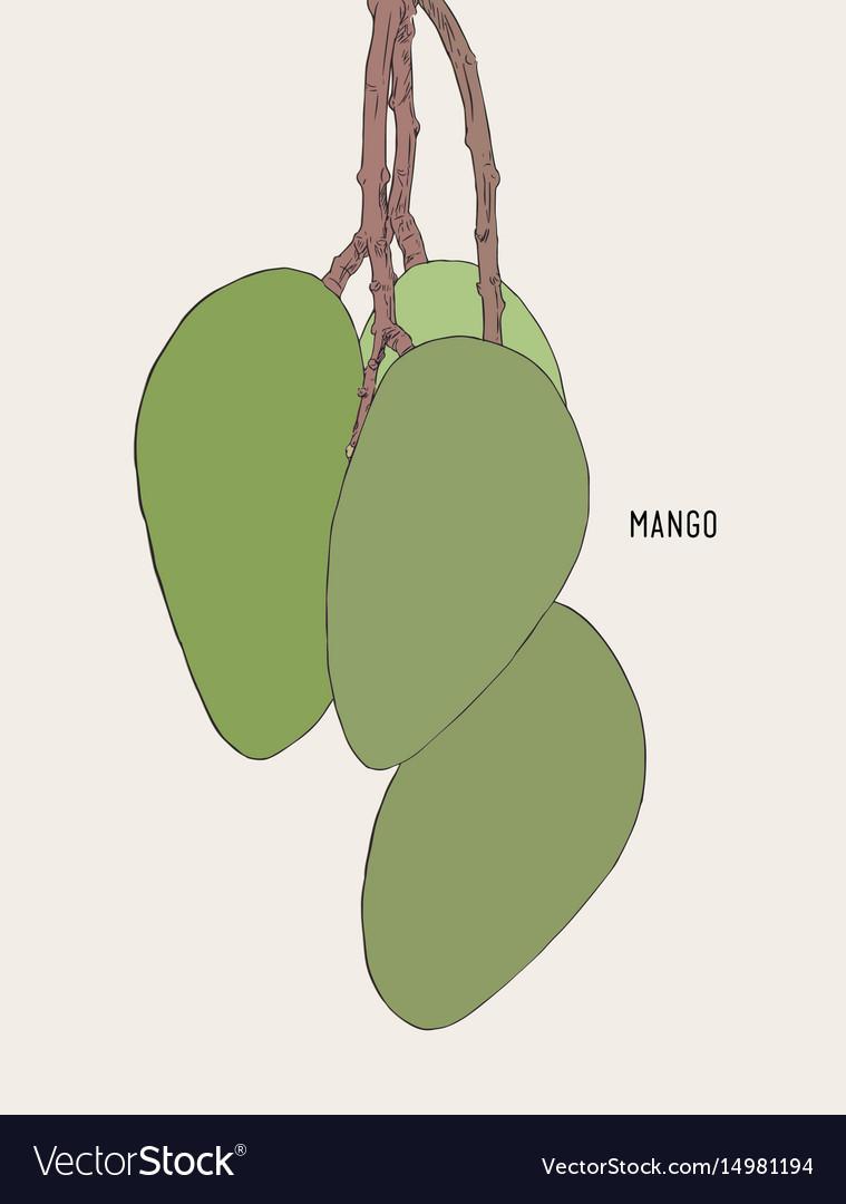 Green ripe mango on tree sketch vector image