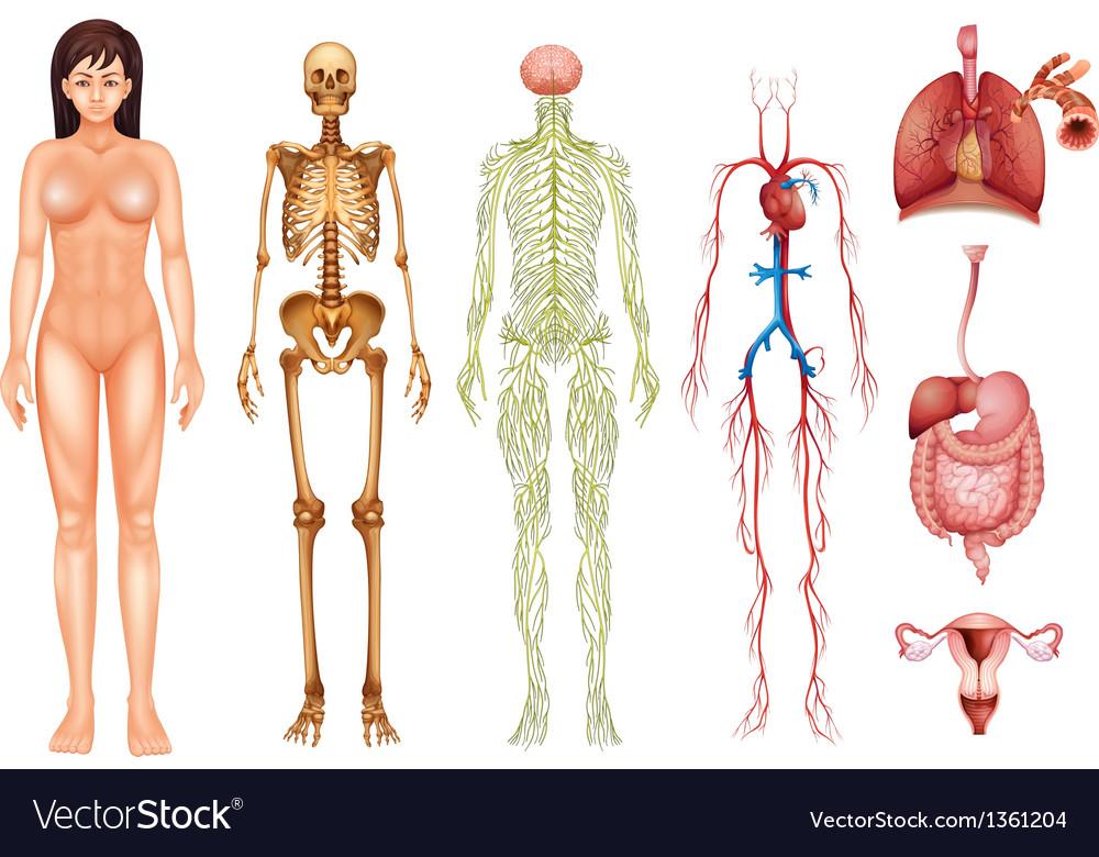 Human Body Systems Royalty Free Vector Image Vectorstock