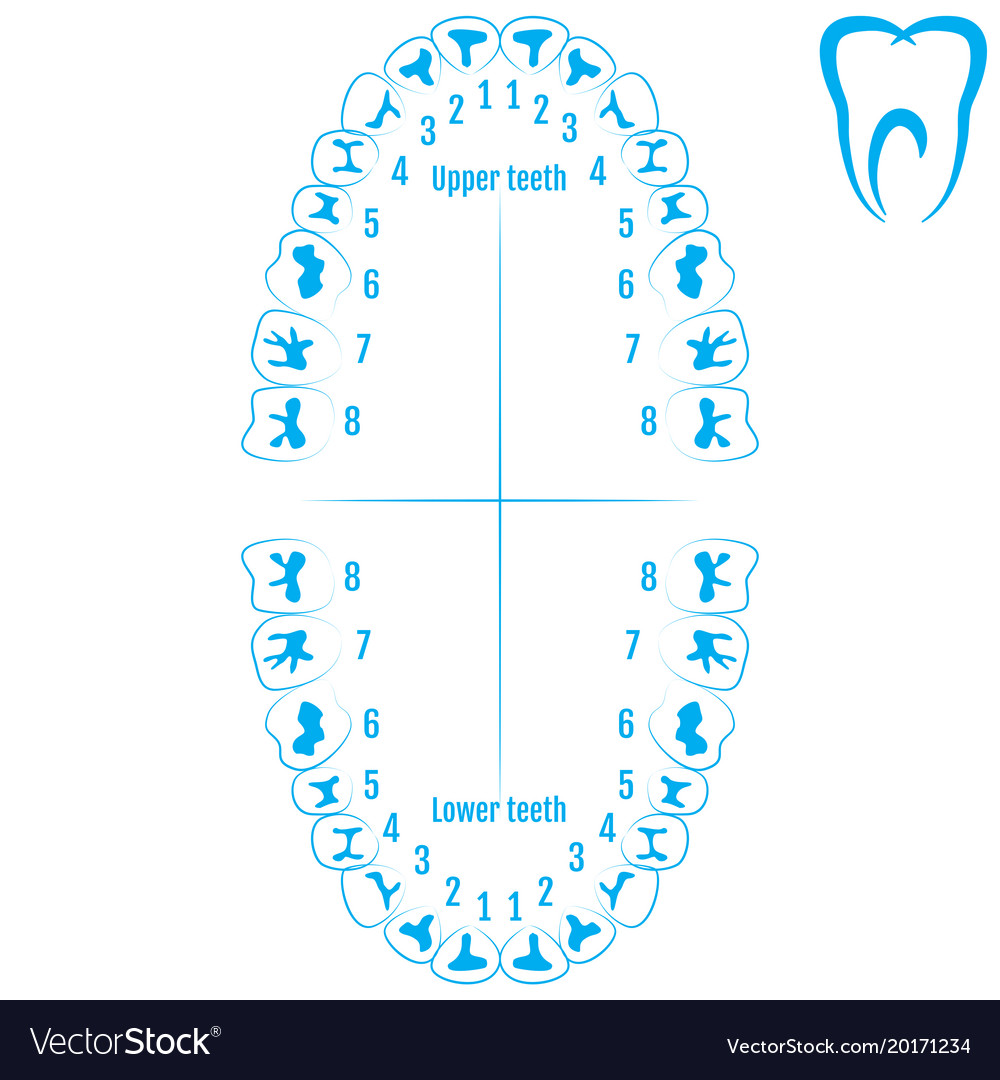 Orthodontist human tooth anatomy with numbering Vector Image