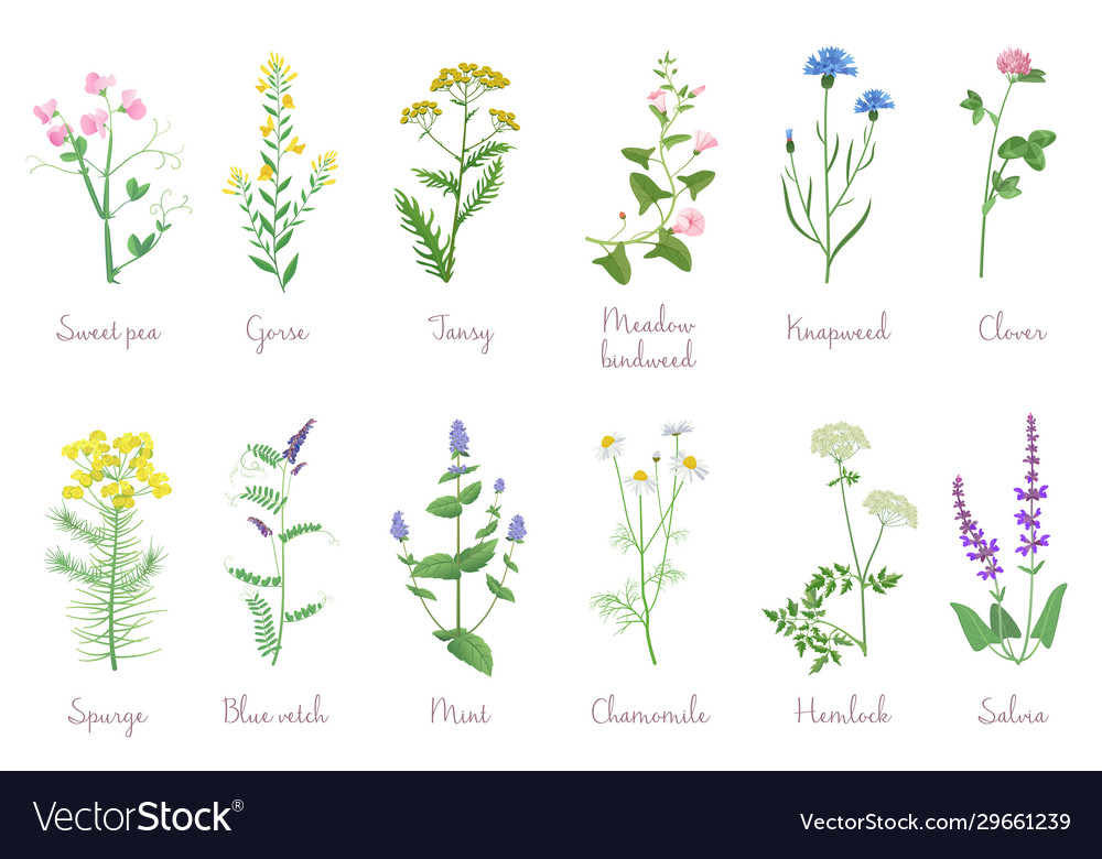 Wild herbs set with names isolated wildflowers