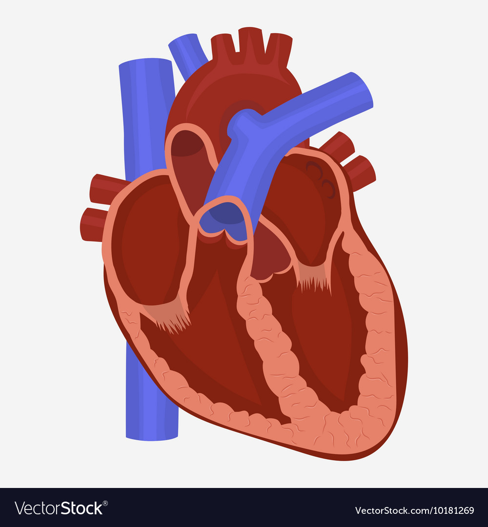Heart Anatomy Royalty Free Vector Image Vectorstock