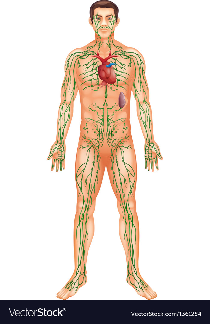 Lymphatic System vector image