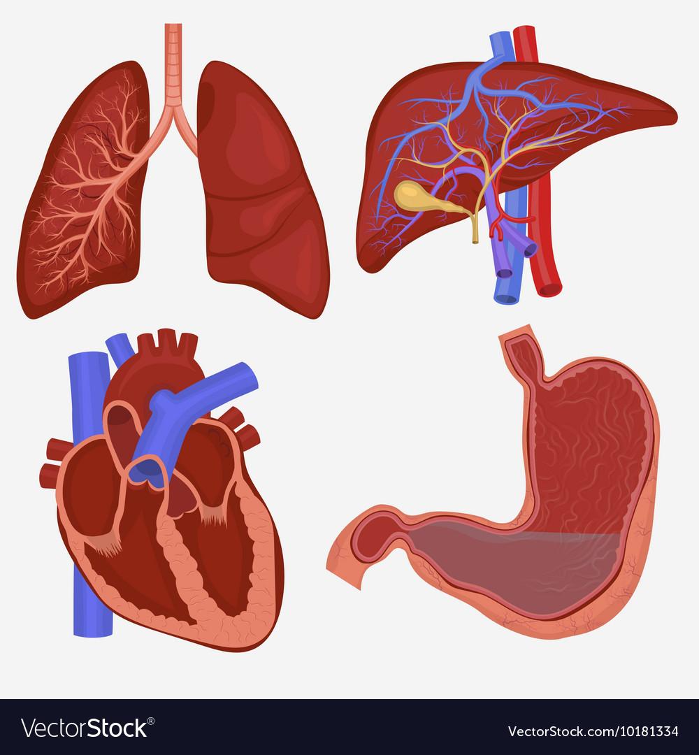 Human internal organs set