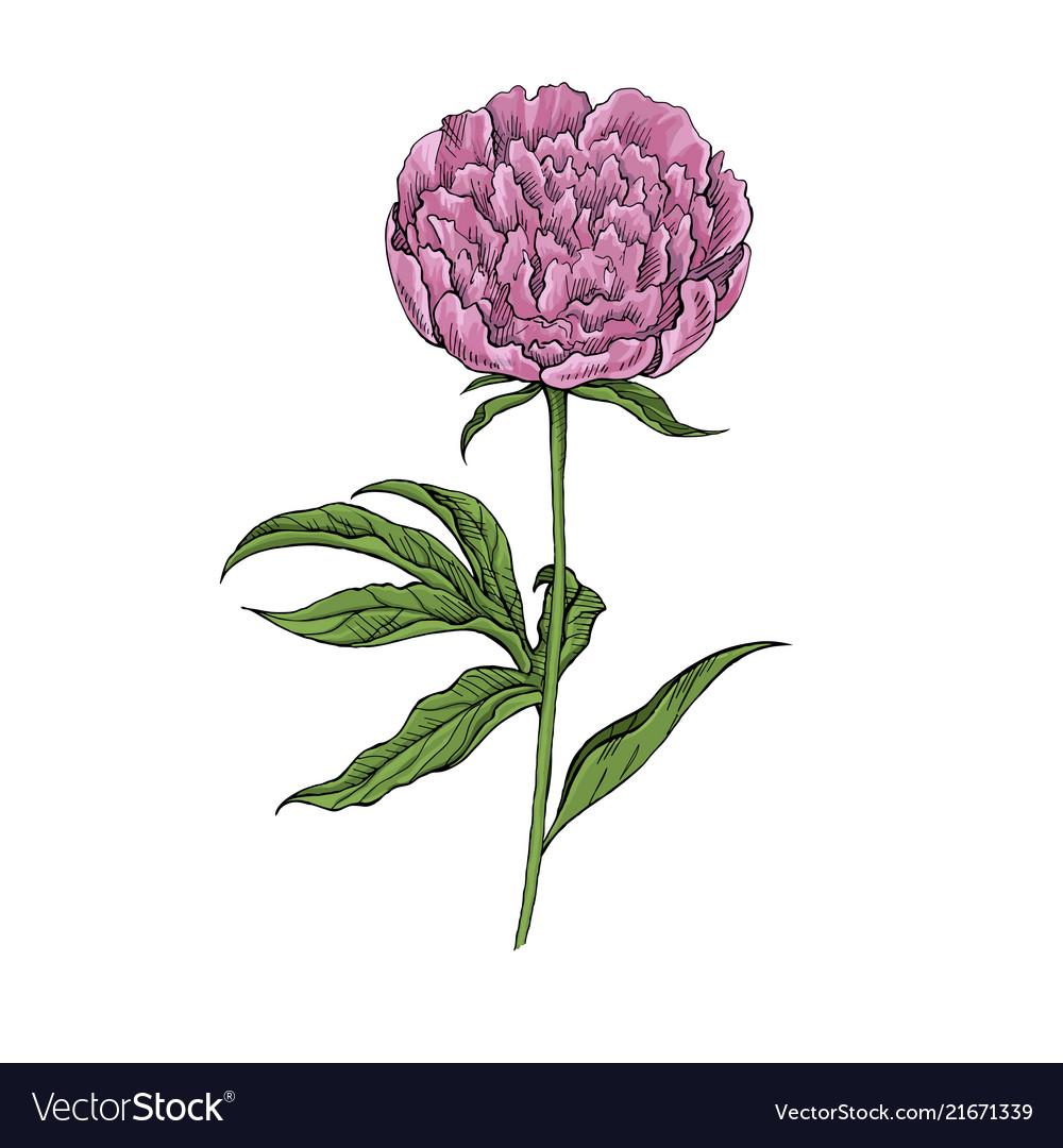 Peony flower on white background