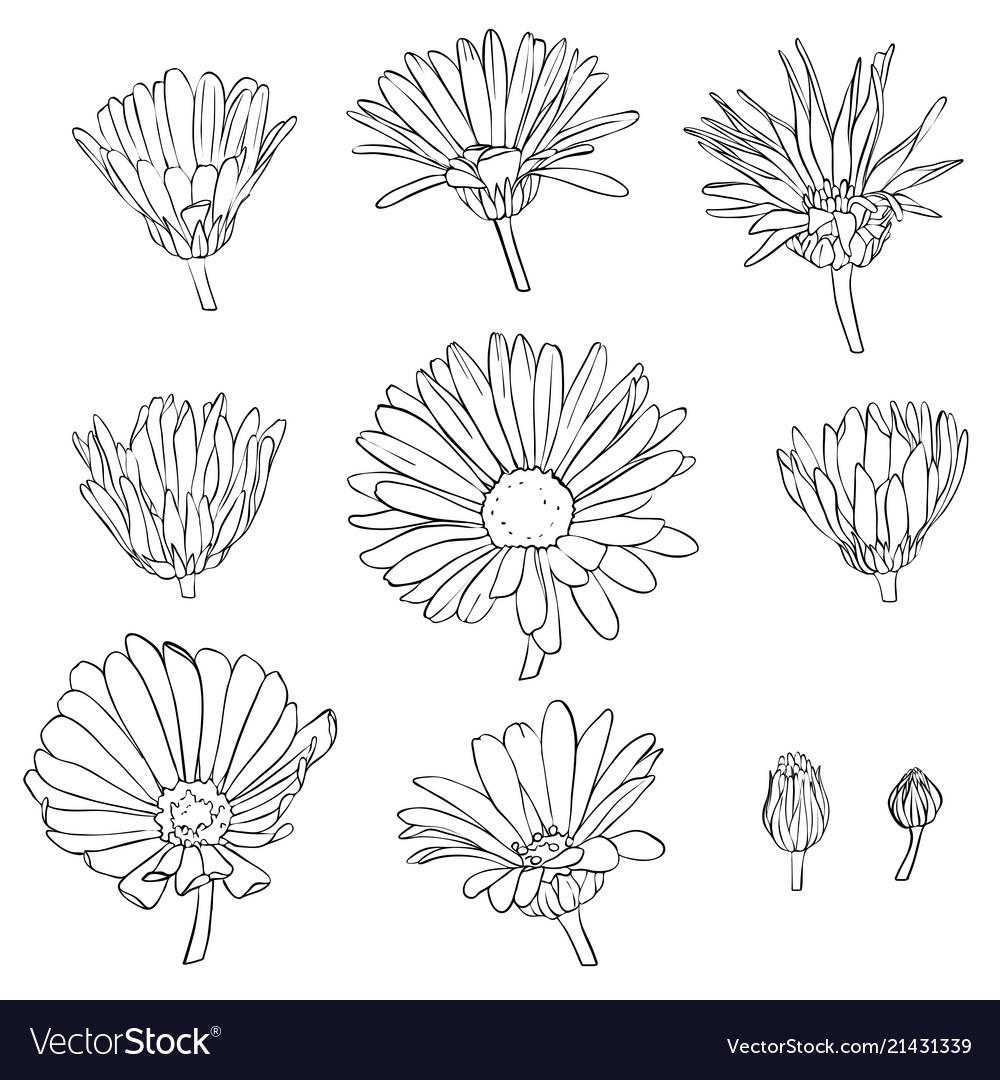 Set of drawing calendula flowers