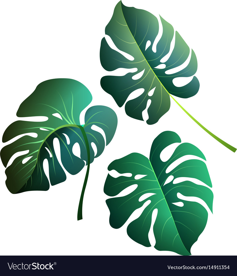 Monstera leaves botanical exotic tropical plants