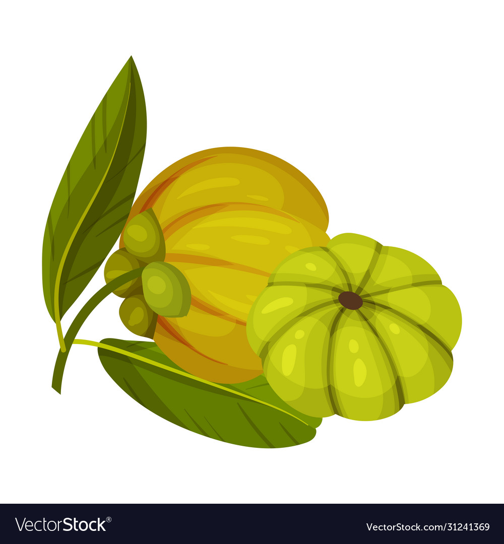 Garcinia Cambogia Fruit With Oblong Green Leaves Vector Image