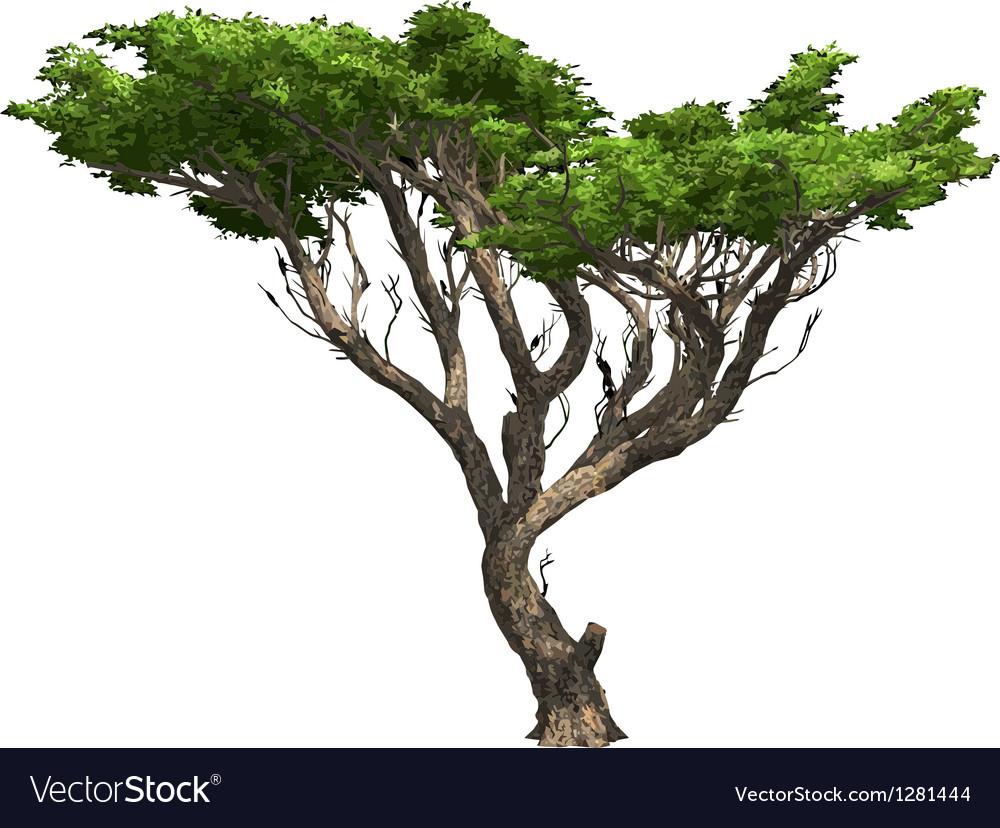 Acacia Tree Isolated Royalty Free Vector Image