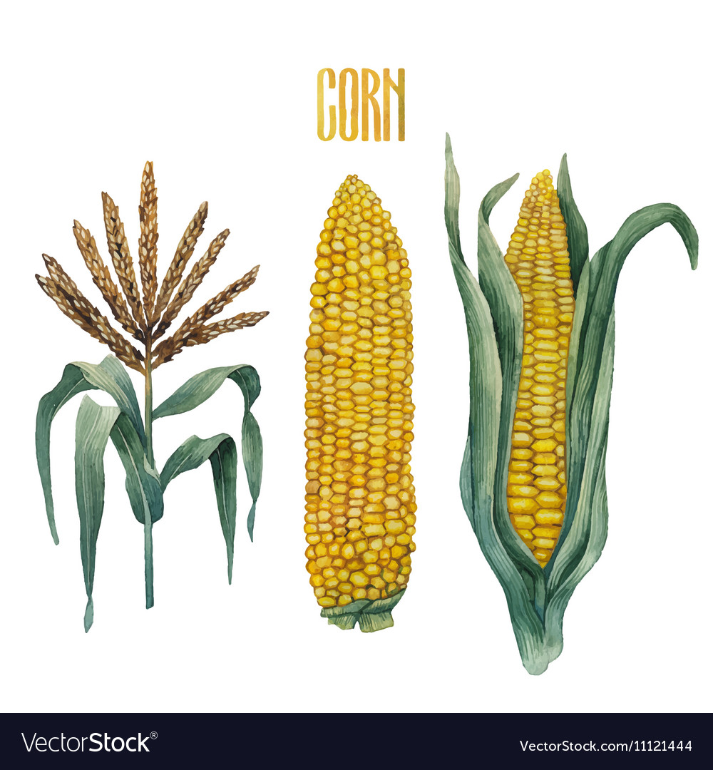 Watercolor corn collection vector image