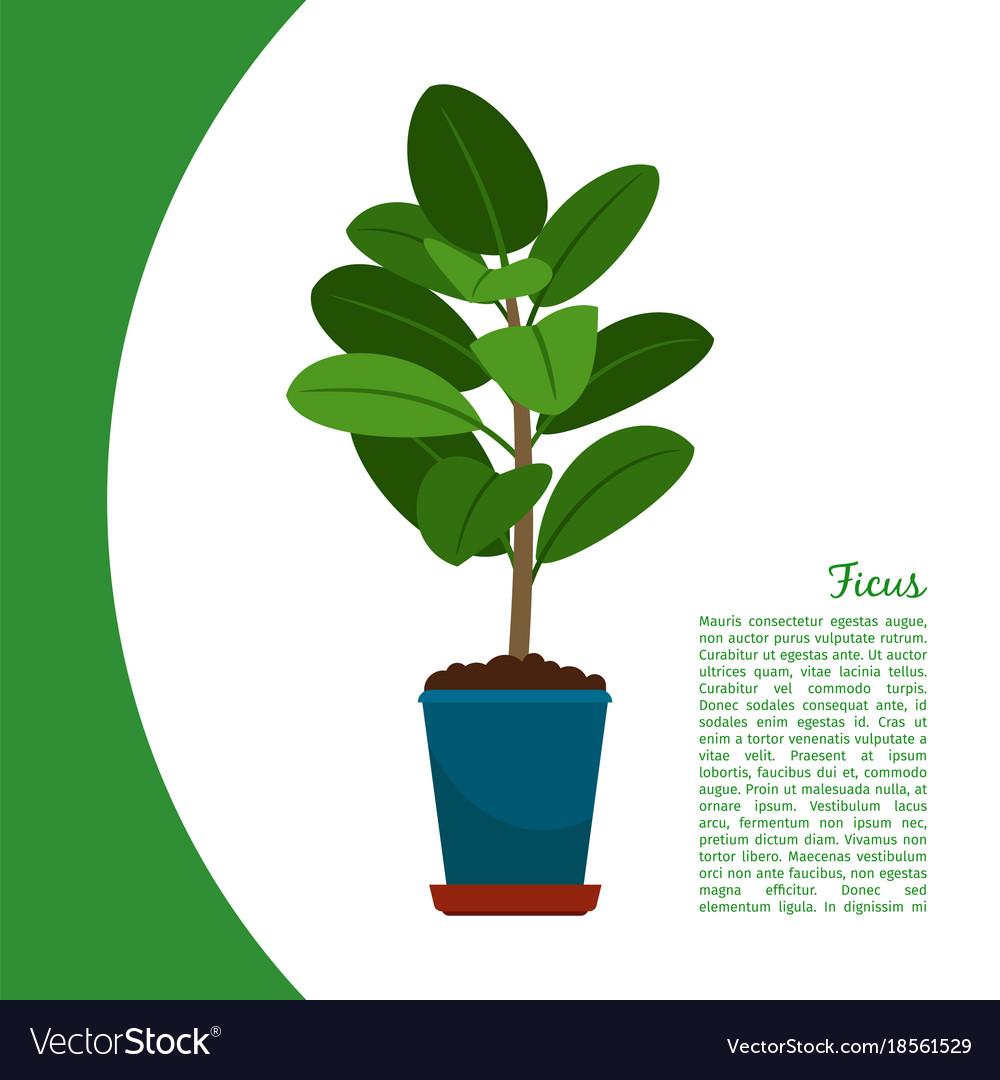 Ficus plant in pot banner