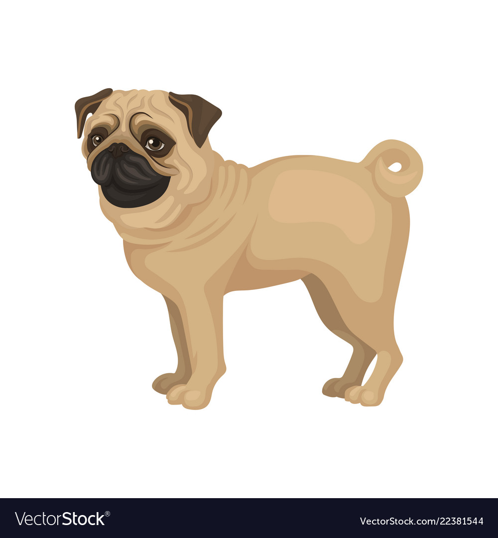 Beige Pug Puppy Standing Isolated On White Vector Image