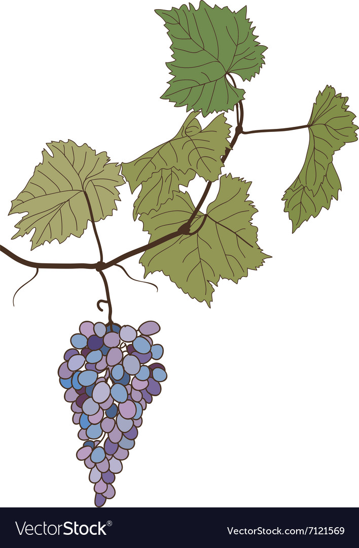 Grapes With Leaves Drawing Royalty Free Vector Image