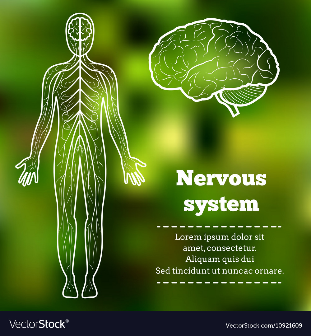 Human body nervous system Royalty Free Vector Image