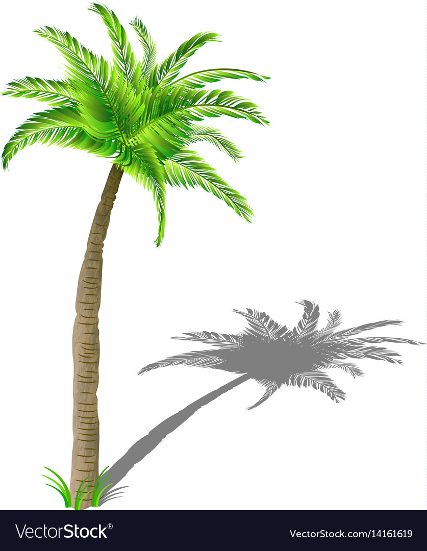 Coconut palm tree with shadow with green leaves