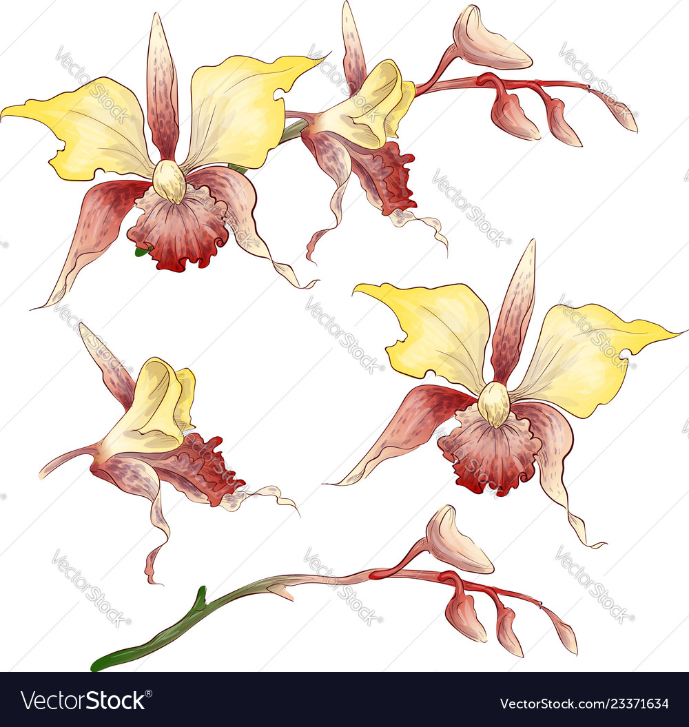 Set phalaenopsis orchid pink red flowers on