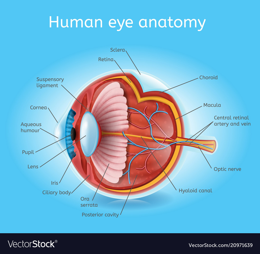 Human eye anatomy detailed realistic scheme Vector Image