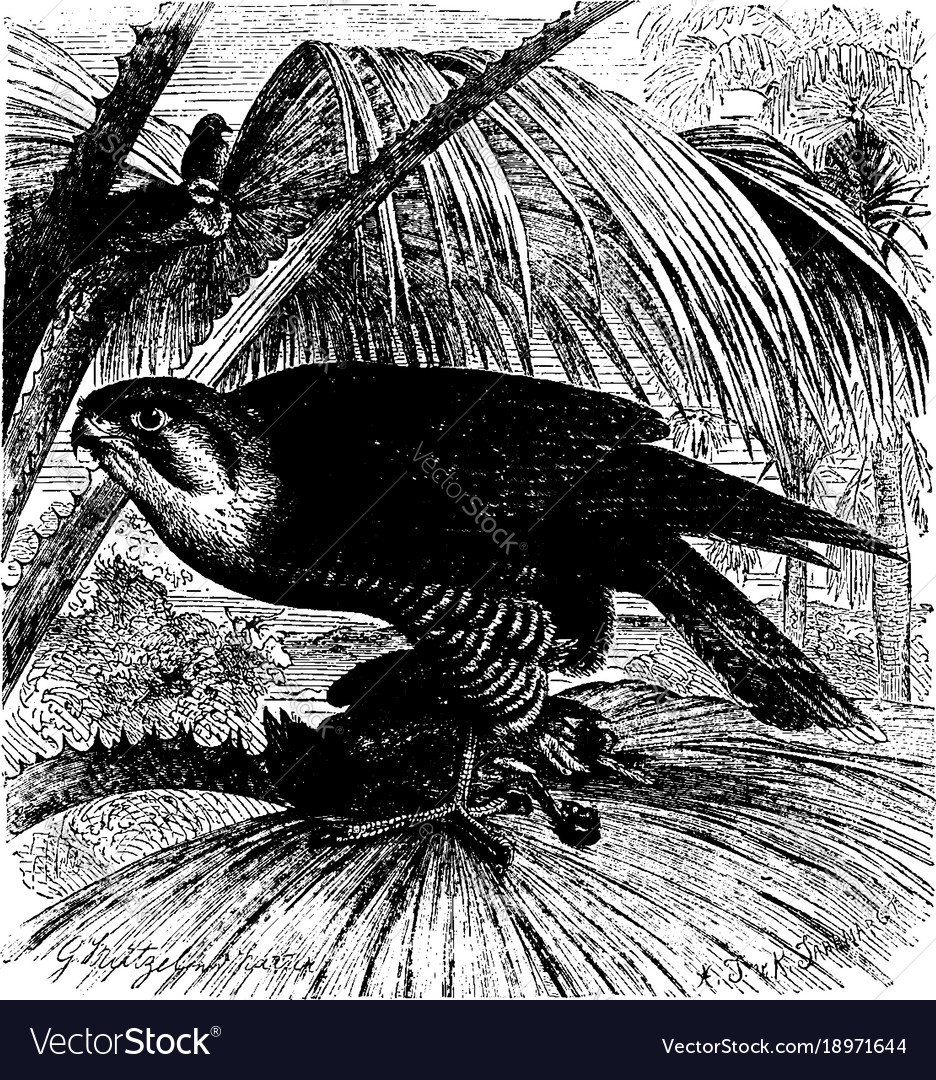 Red necked falcon or turumdi vintage