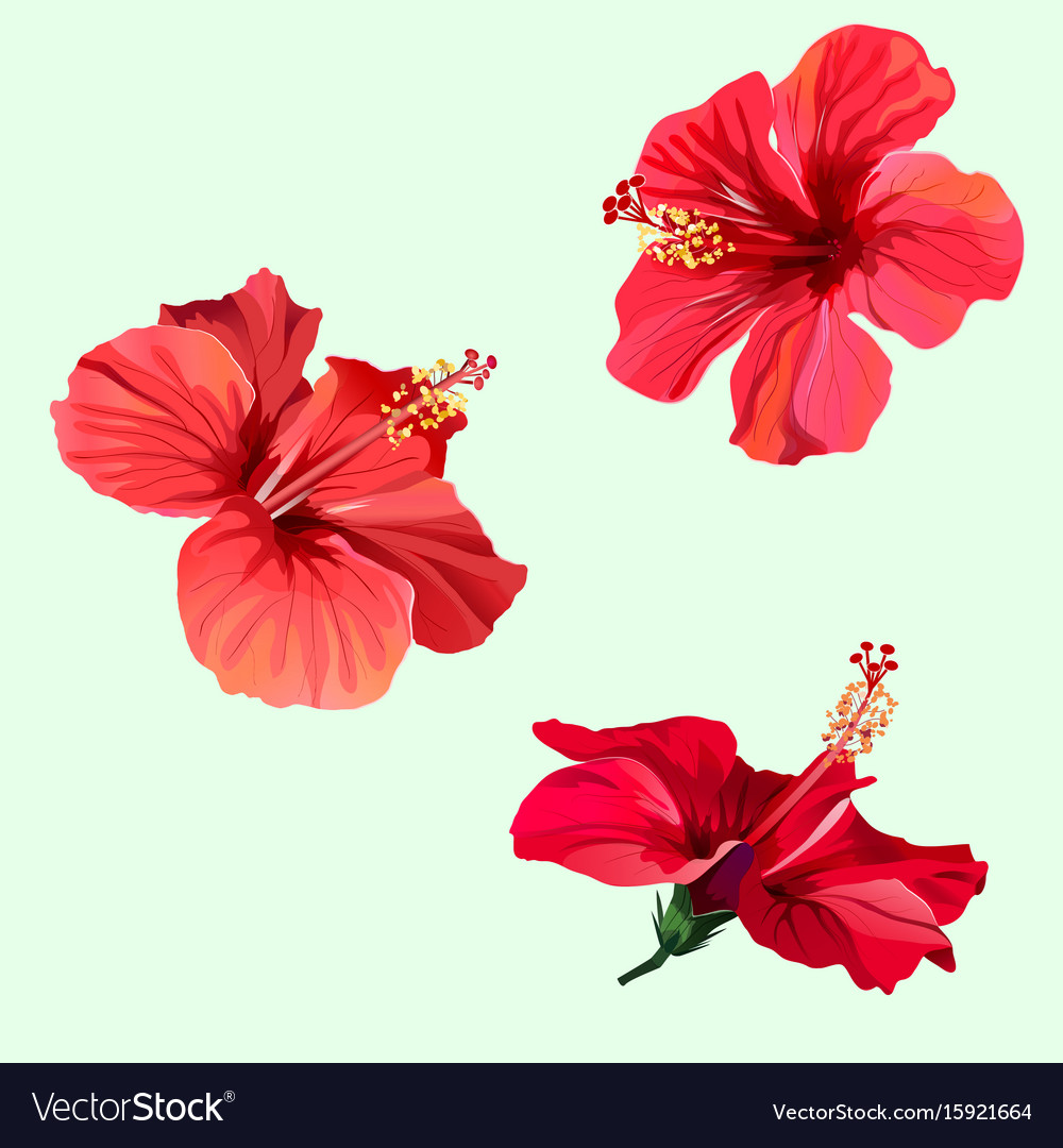 b224ca1df400 Three red hibiscus flowers Royalty Free Vector Image