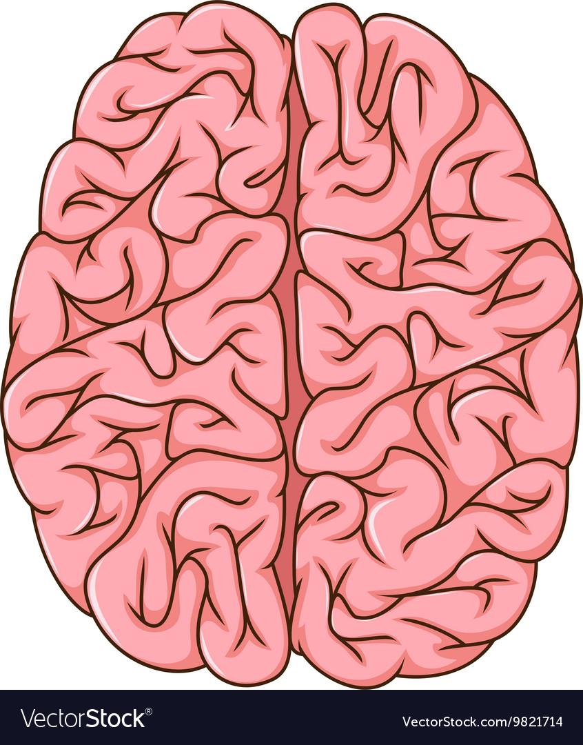 Human left and right brain cartoon royalty free vector image human left and right brain cartoon vector image ccuart Choice Image