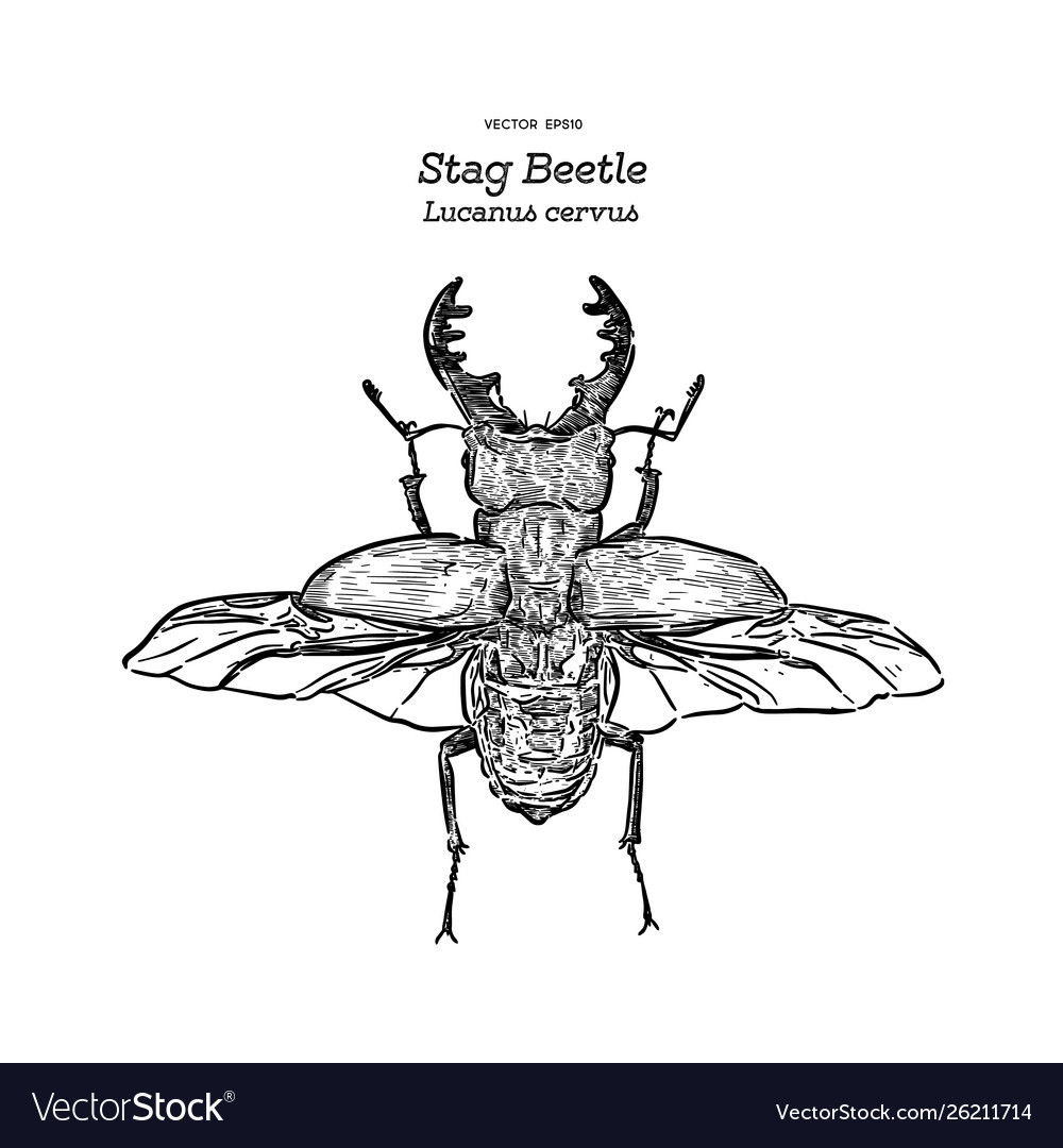 Stag beetle hand draw sketch