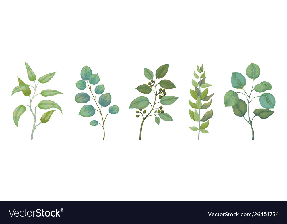 Eucalyptus plants rustic foliage branches and