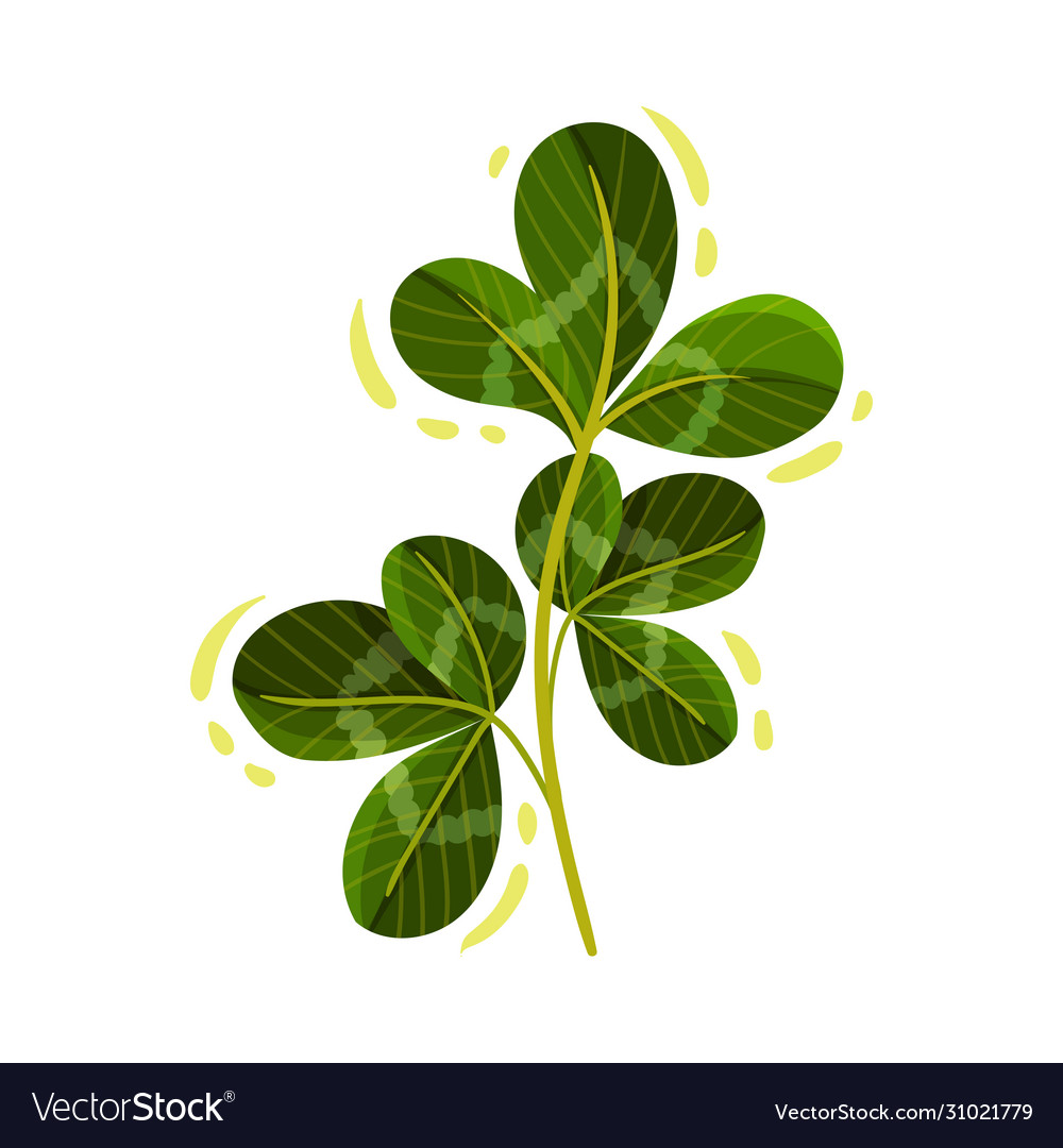 Green Clover Stem With Trifoliate Leaves Vector Image