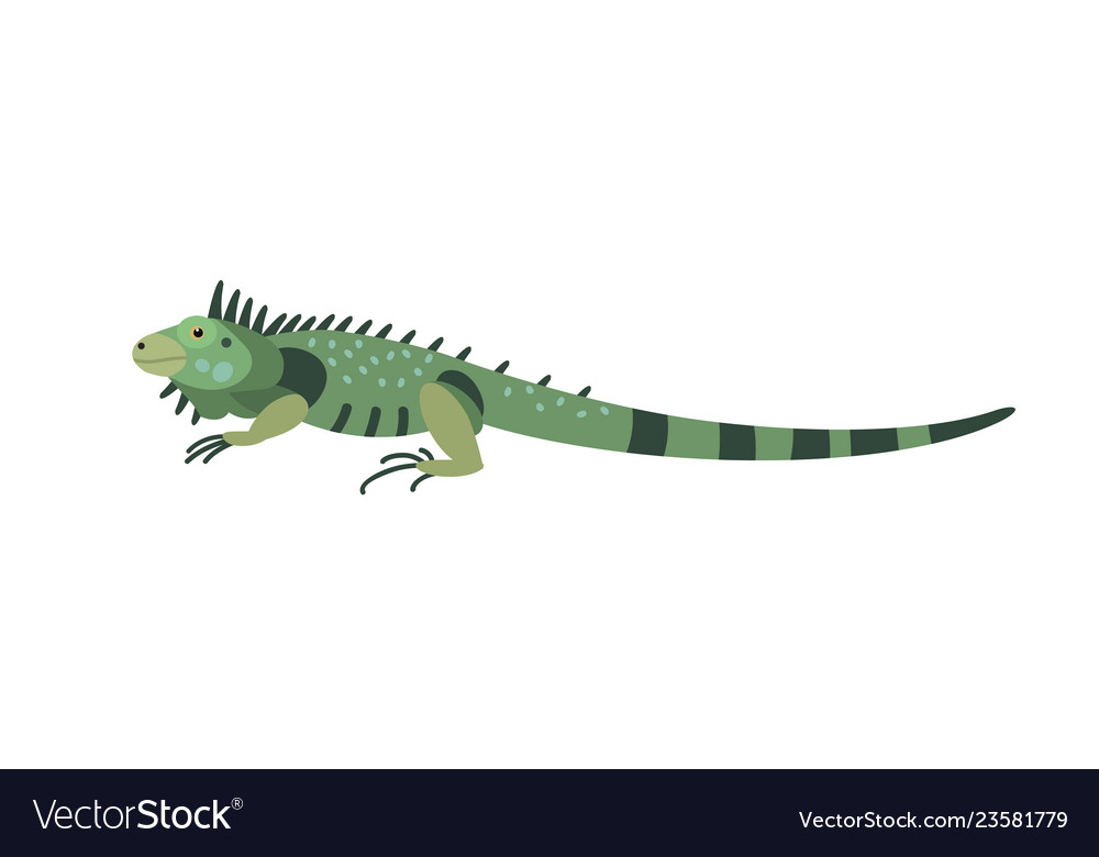 Green iguana isolated on white background