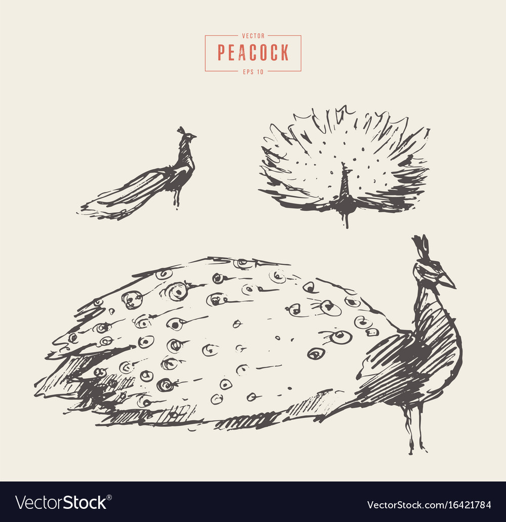 Set peacock drawn sketch