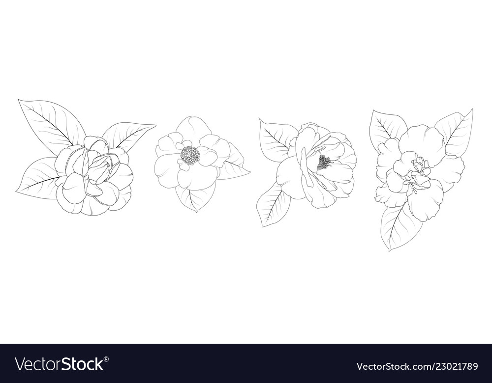 Camellia japonica flower set isolated