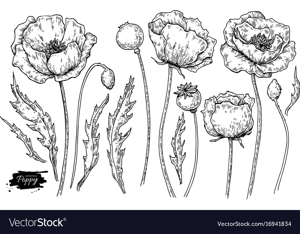Poppy flower drawing set isolated wild