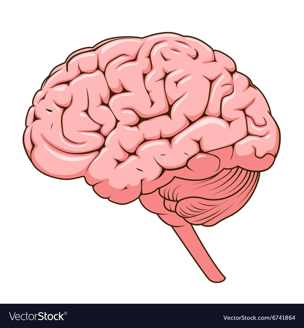 Structure Of Human Brain Schematic Royalty Free Vector Image