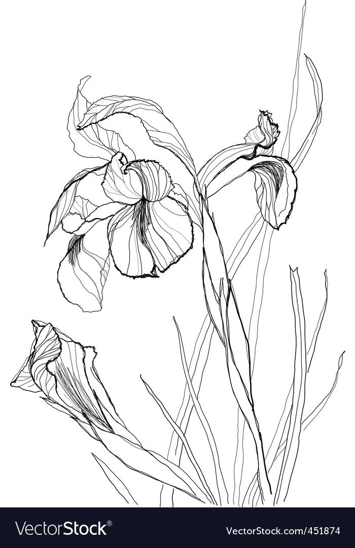 Picture Iris Flower on Iris Flowers Vector 451874 By Vergasova