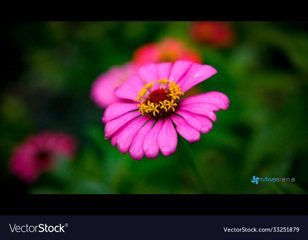 Pink zinnia flower from rocky town