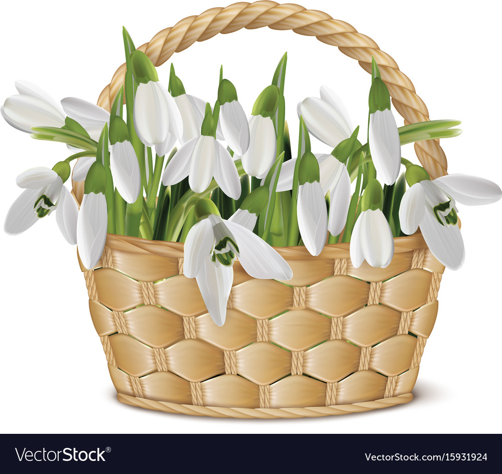 Bouquet of snowdrops in a basket