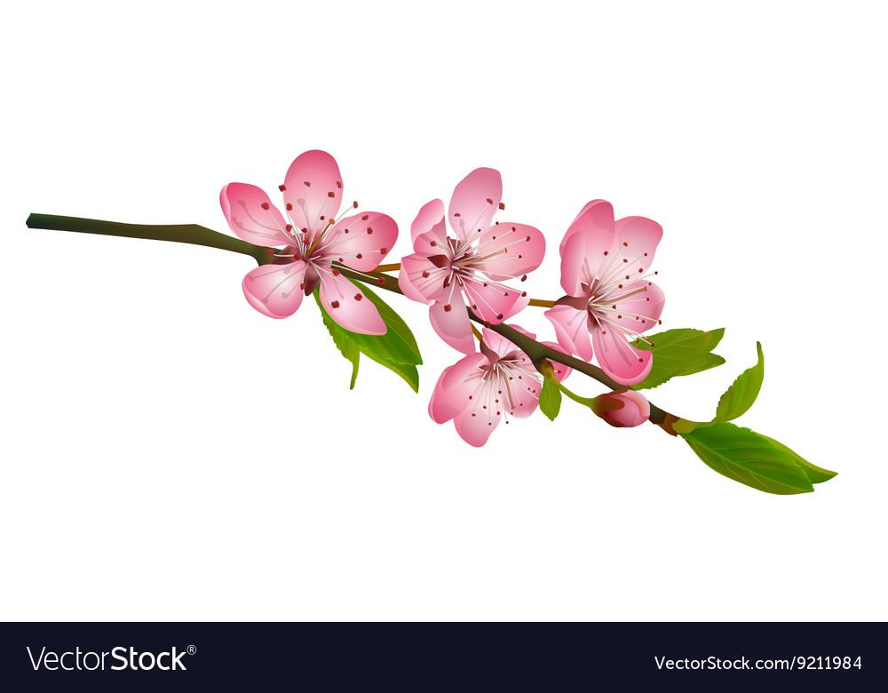 Cherry blossom sakura flowers isolated