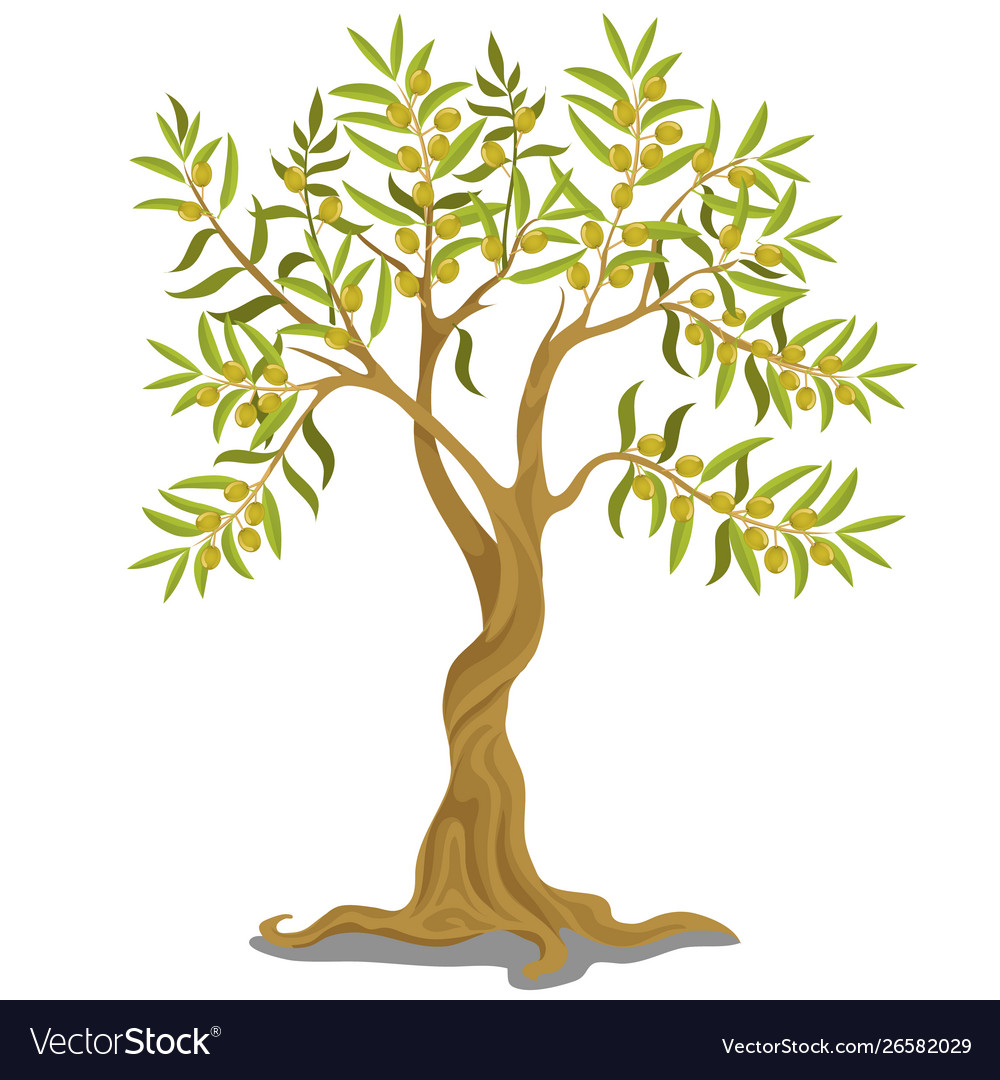 Harvesting greek olive tree with ripe green