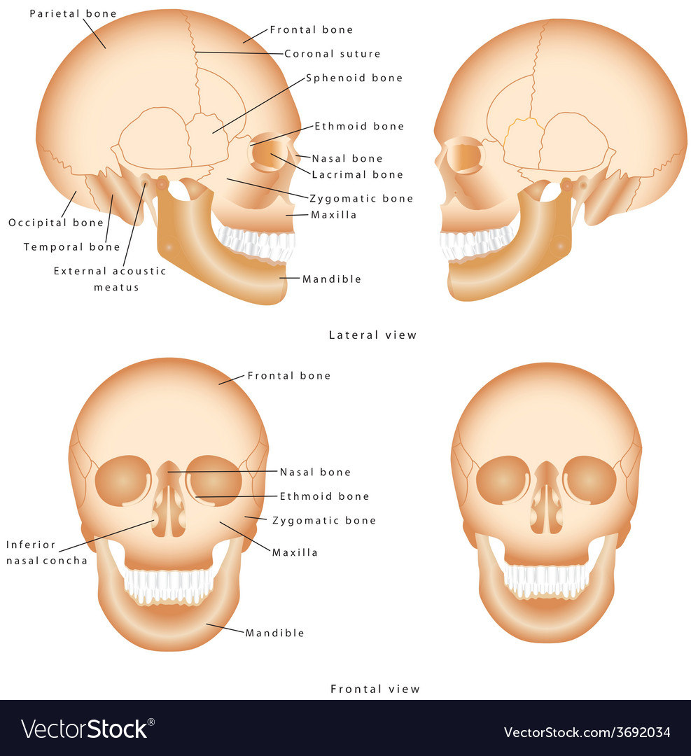 Human Skull Structure Royalty Free Vector Image