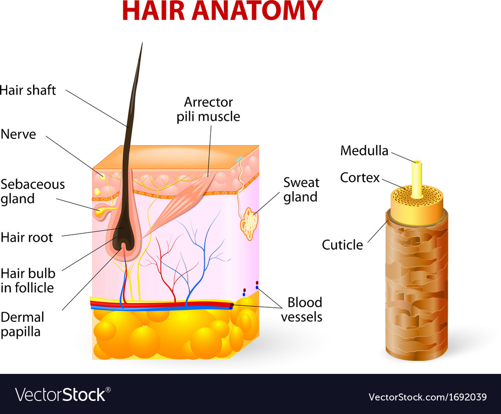 Hair anatomy diagram Royalty Free Vector Image
