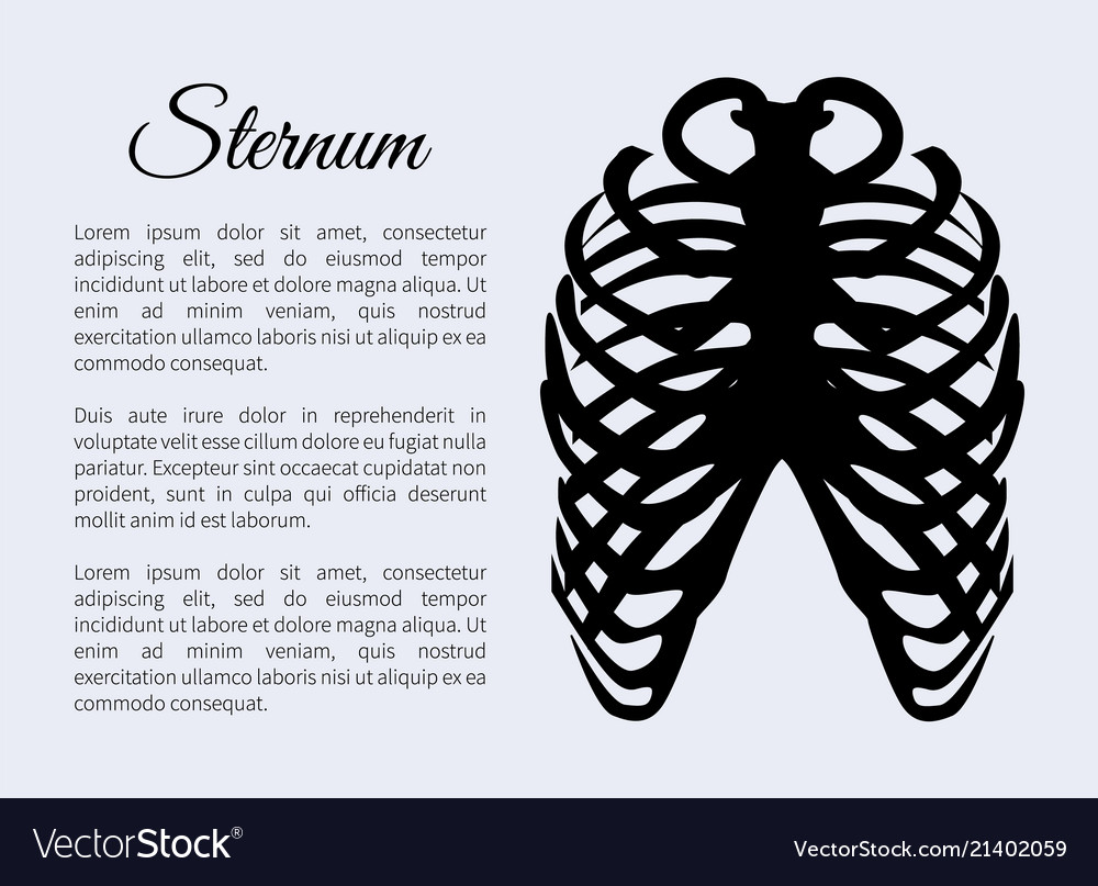 Sternum Bones Poster And Text Royalty Free Vector Image