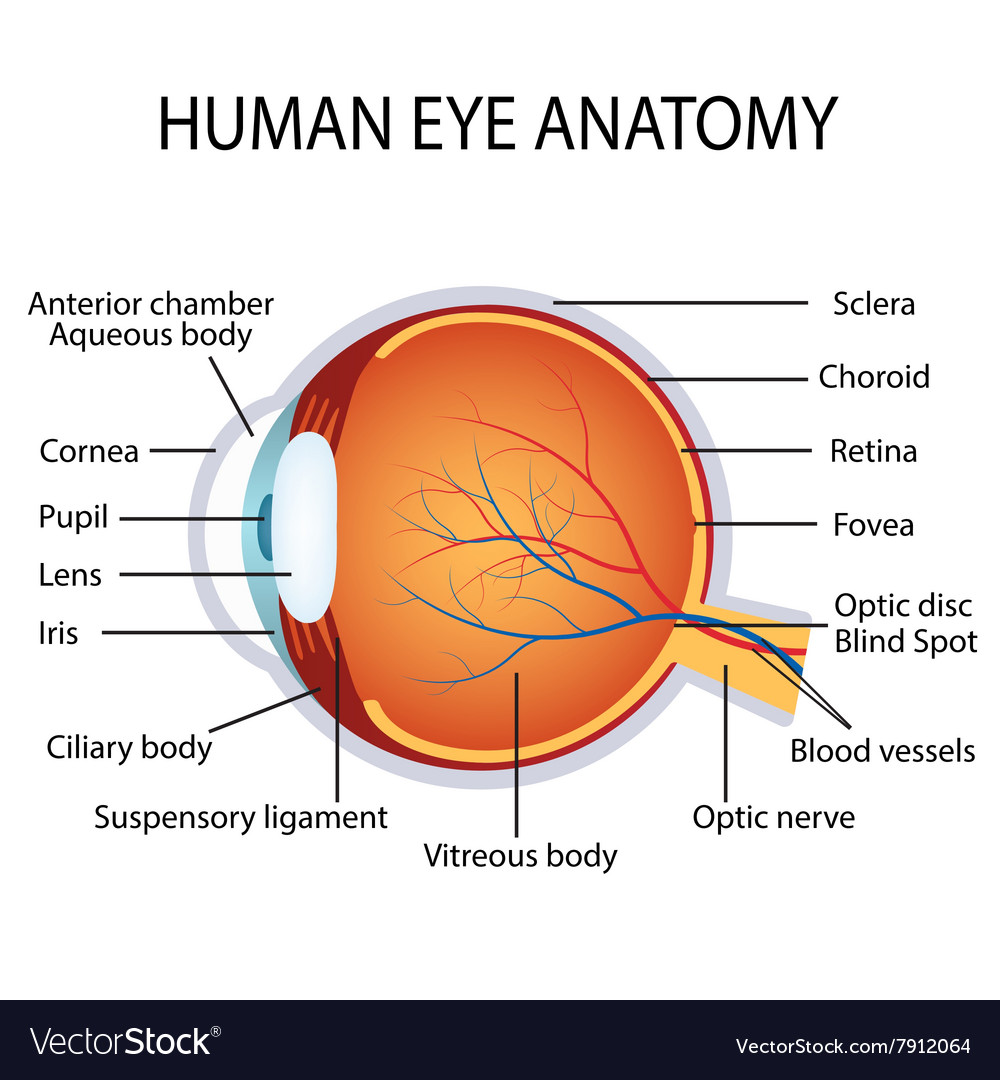human eye anatomy royalty free vector image vectorstock