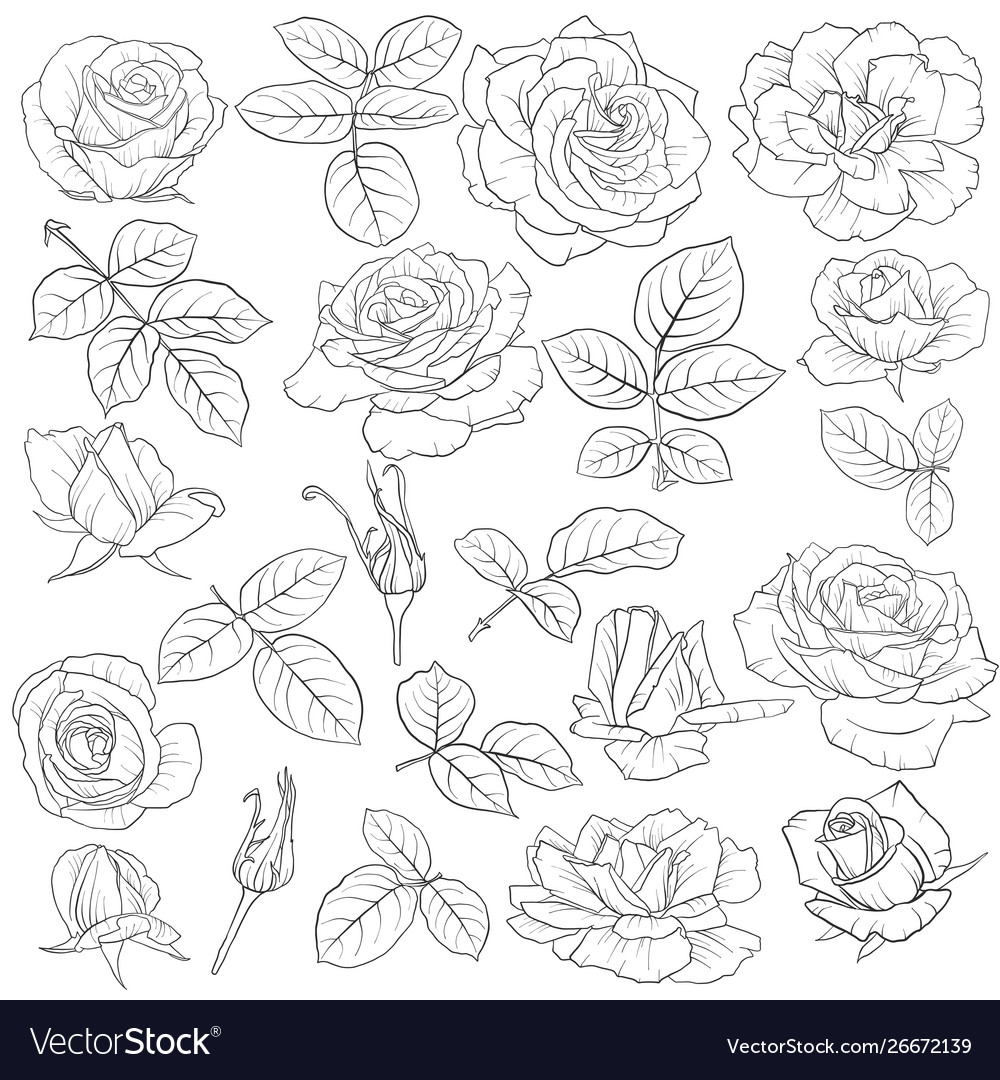 Drawing flowers roses
