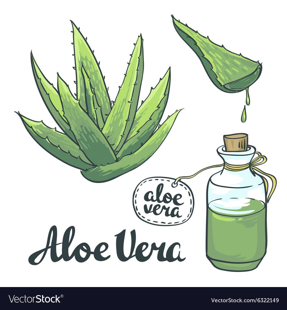 Natural Aloe vera isolated objects