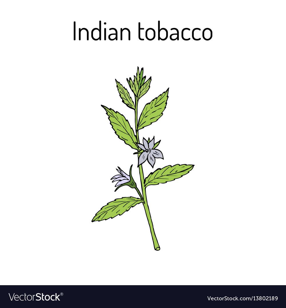 Indian tobacco lobelia inflata or asthma weed vector image