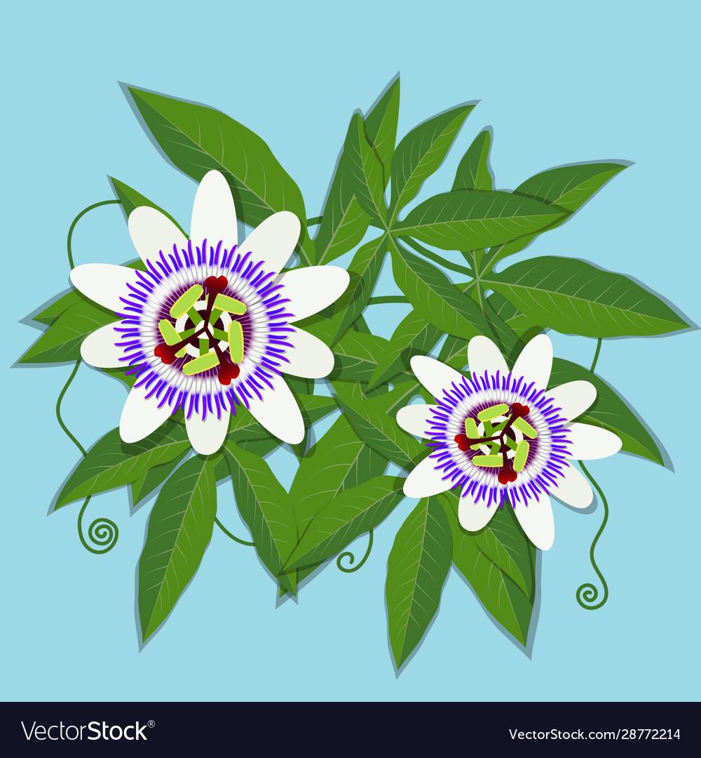 Passiflora Caerulea White Flower Royalty Free Vector Image