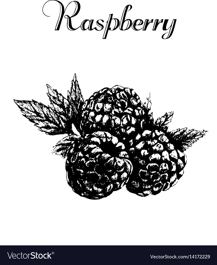 Hand drawn vintage isolated raspberry